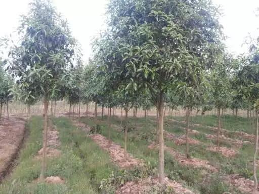 4-公分桂花树价格