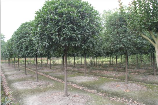 5-公分桂花树价格