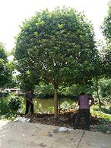 15-公分桂花树价格