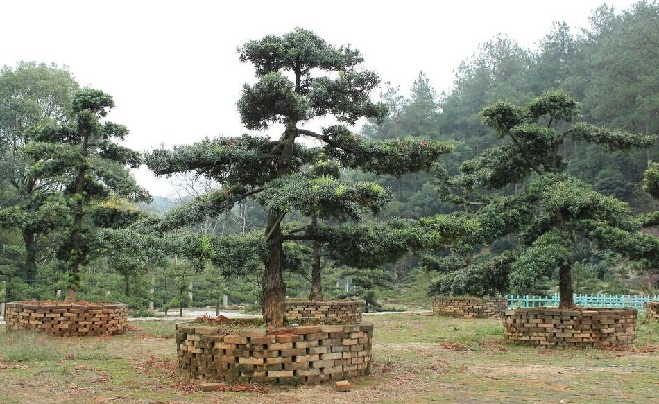 自然造型树罗汉松