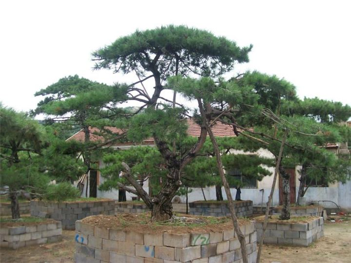 黑松树如何造型