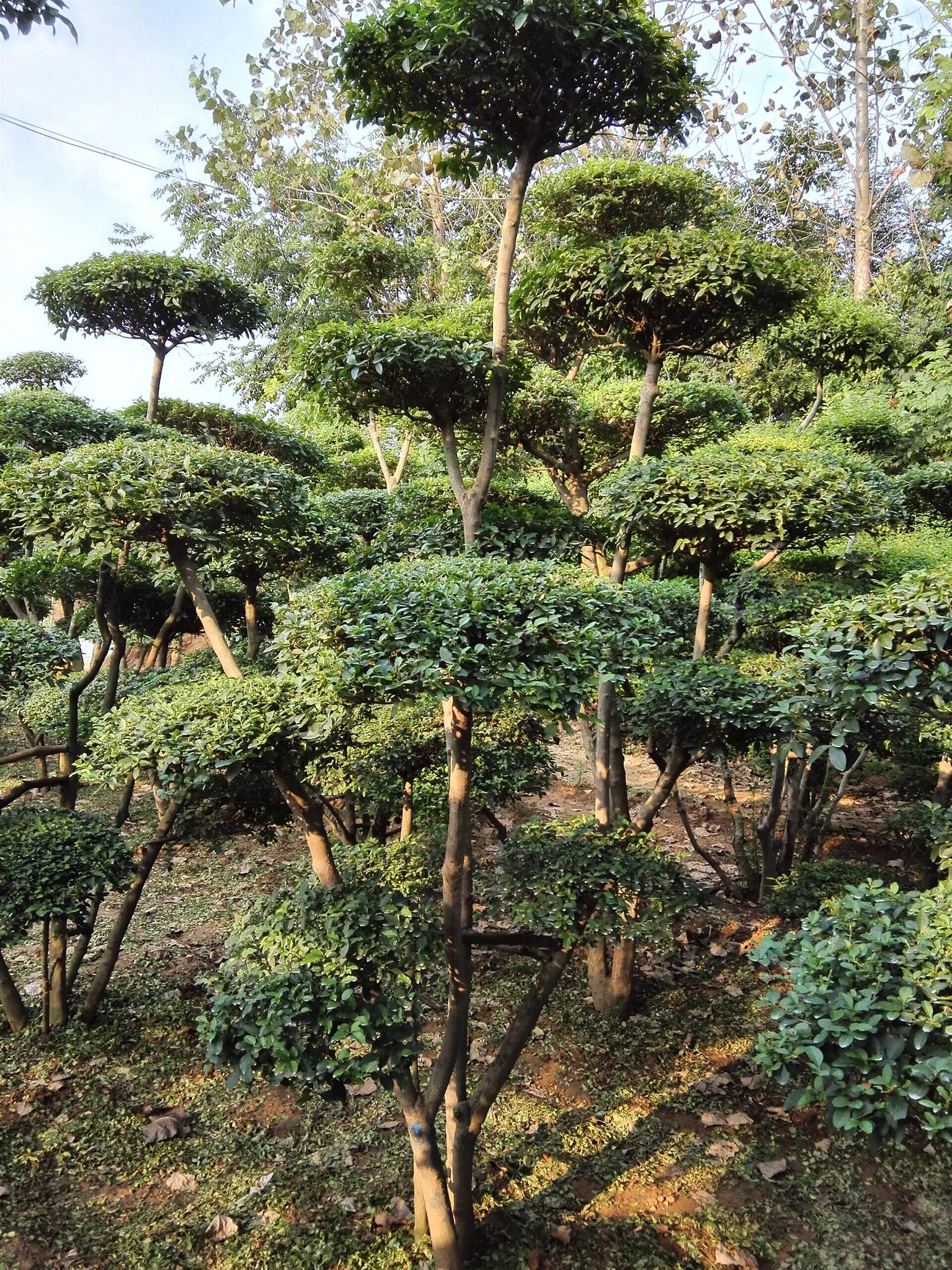 黄杨木怎么造型