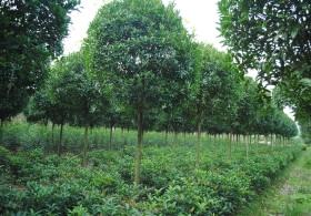 6-公分桂花树价格