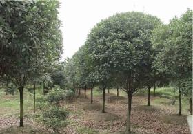 9-公分桂花树价格