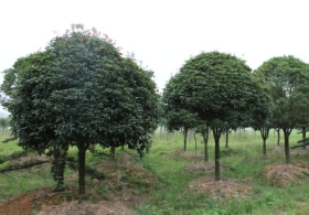 10-公分桂花树价格