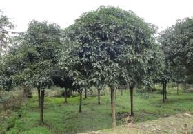 8-公分桂花树价格