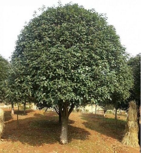 20-公分桂花树价格