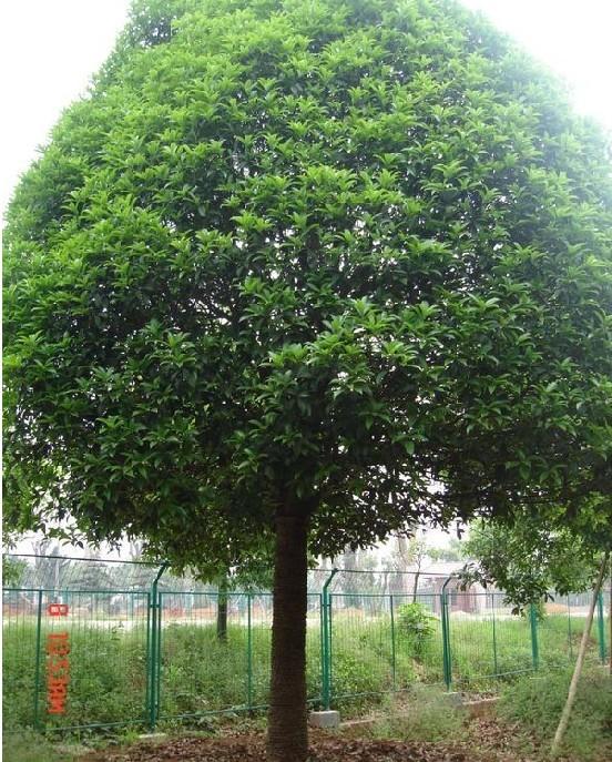18-公分桂花树价格