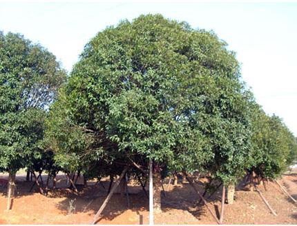 30-公分桂花树价格