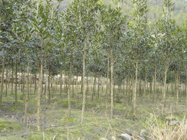 3-公分桂花树价格