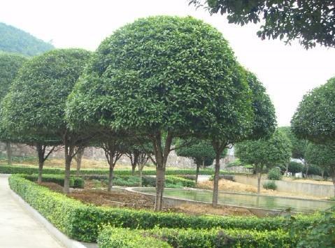 12-公分桂花树价格