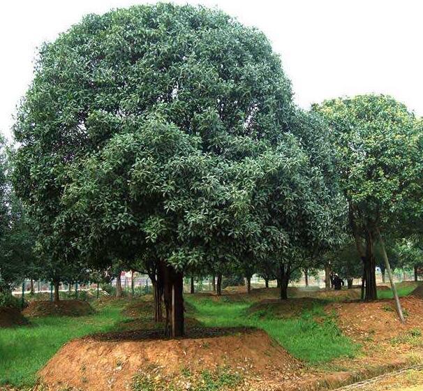 40-公分桂花树价格
