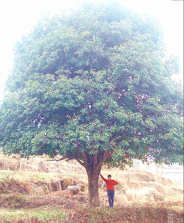 50-公分桂花树价格